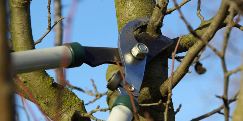 Herbi Systems tree and shrub care technician using sheers to cut branches off of a tree.